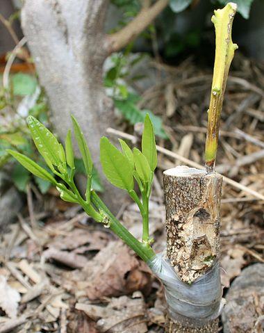 デコポンに接ぎ木した例