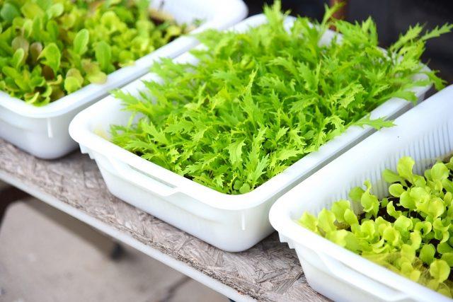 トレーを使った野菜の水耕栽培