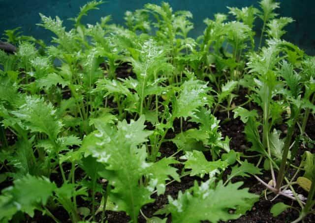 水菜の栽培