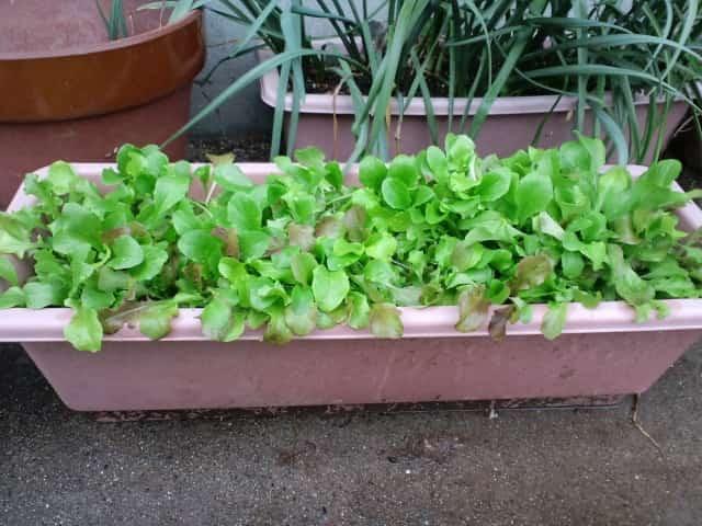 リーフレタスのプランター栽培