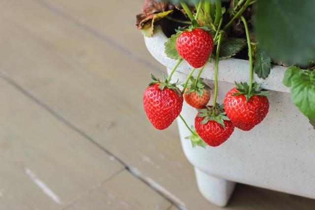 プランターに植えられたイチゴ