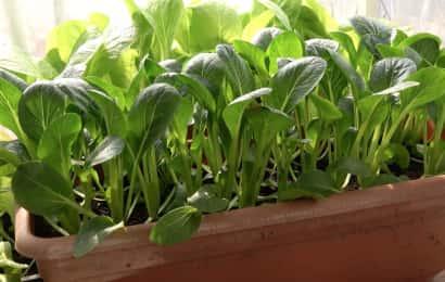 小松菜のプランター栽培