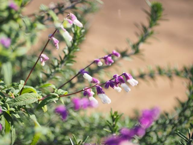 セージの花