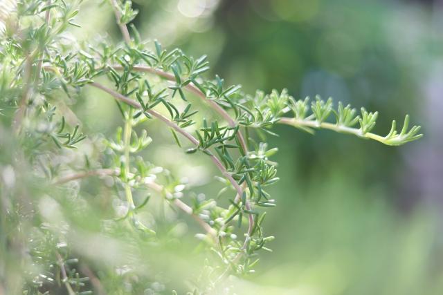 庭のローズマリー