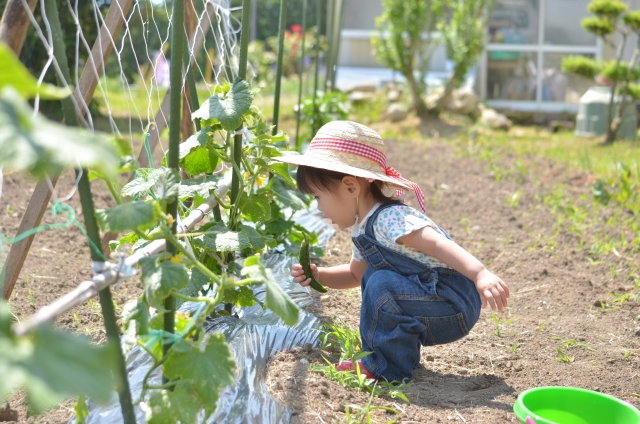 家庭菜園のキュウリと子ども