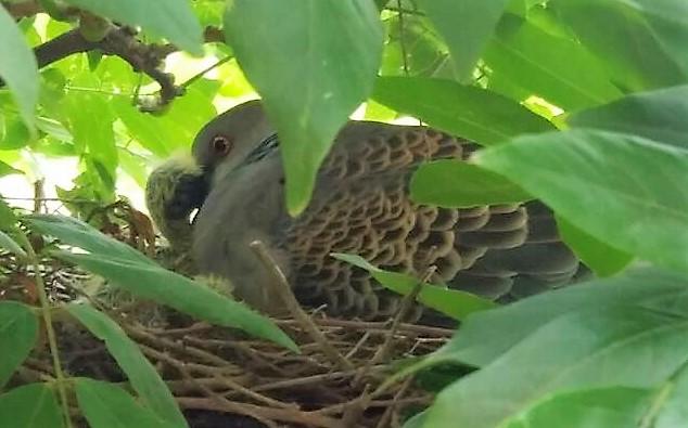巣の中の鳩