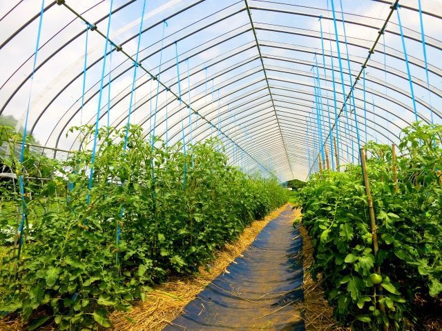 トマトの吊り下げ誘引