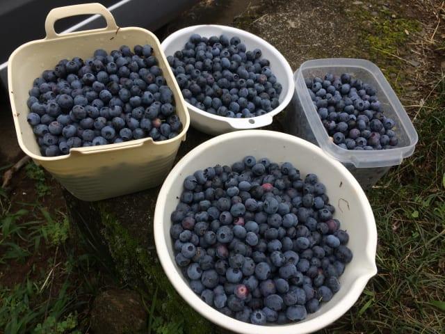 ブルーベリーが大量に収穫できた!