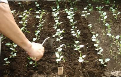 地床育苗で育てている苗の様子
