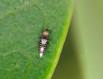 作物の葉を吸汁加害する農業害虫のアザミウマ類