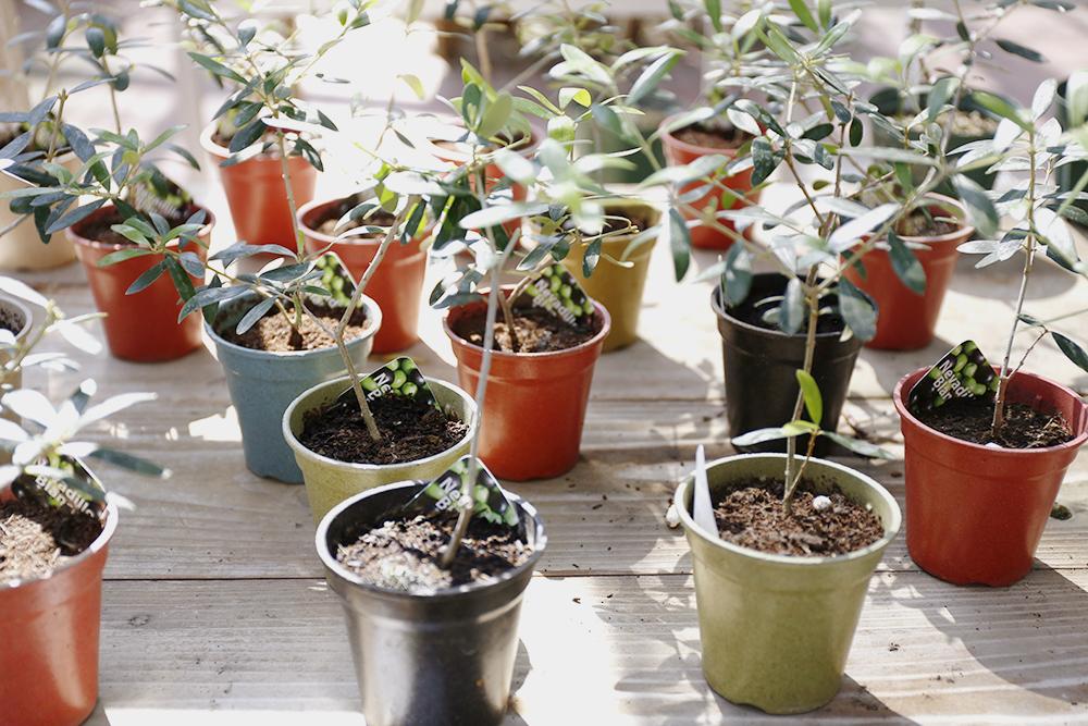 ネバディロ・ブランコの苗木