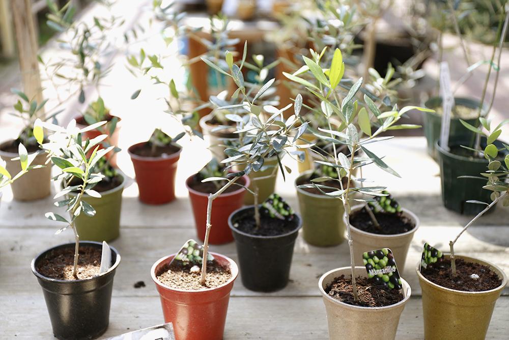 マンザニロの苗木
