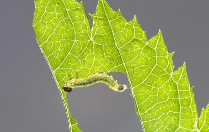 害虫に木酢液が効く