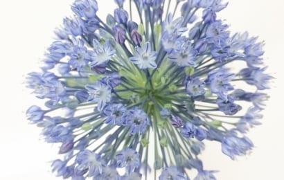 アリウム・ブルーパフュームは綺麗な青い花
