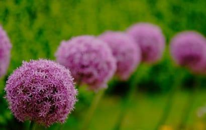 まんまるの花がかわいいアリウム・グローブマスター