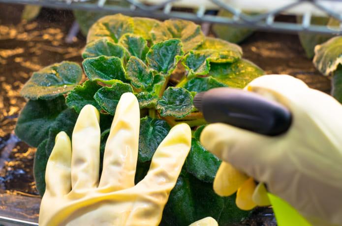 木酢液を植物に散布する