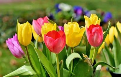 満開のチューリップの花