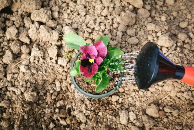ニームオイルを希釈して土壌潅注する