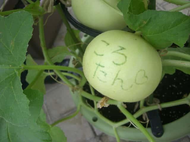 ころたん、ミニメロン、栽培