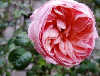 大輪のピンクのイングリッシュローズ