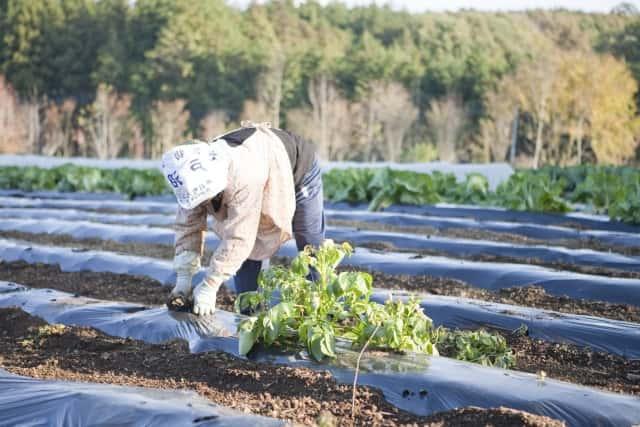 炎天下の畑で農作業する女性