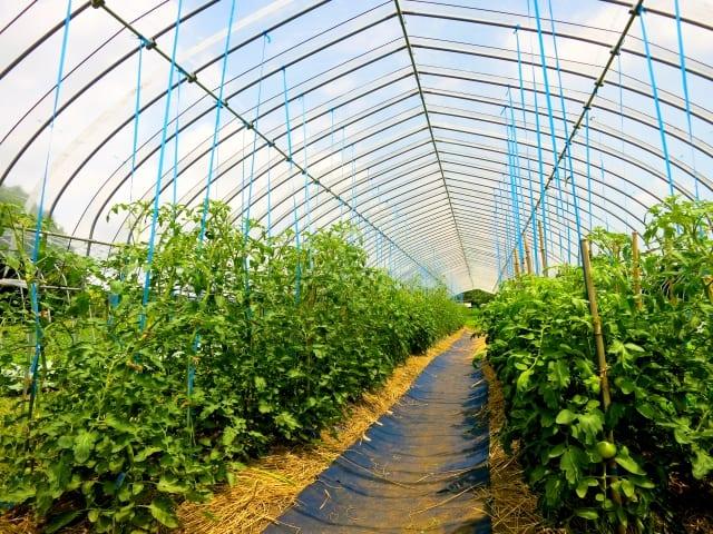 ビニールハウスで栽培されているトマト