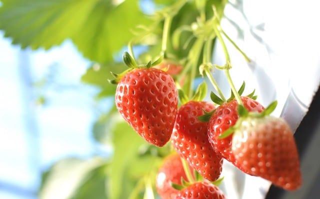 イチゴのハウスでの高設栽培