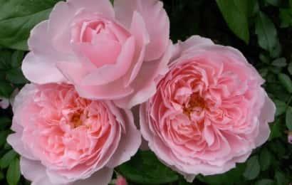 イングリッシュローズの花言葉は微笑み