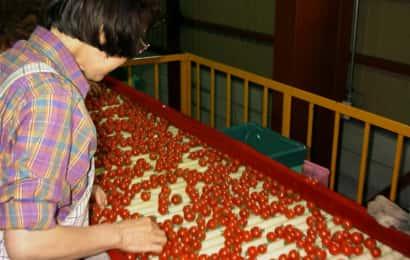 出荷前のミニトマトの選別