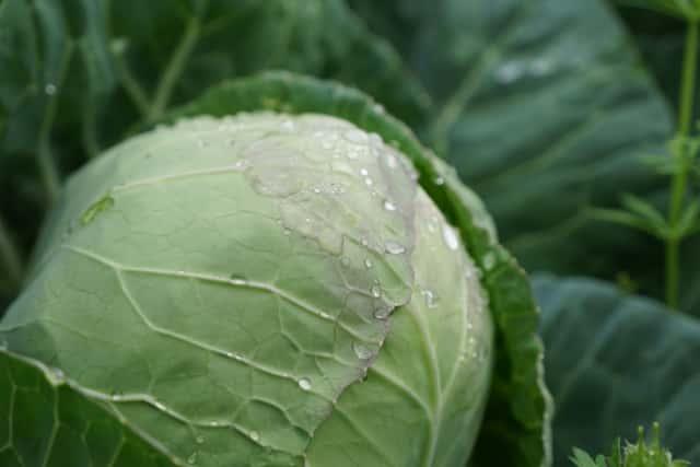 収穫間際の朝露に濡れたキャベツ