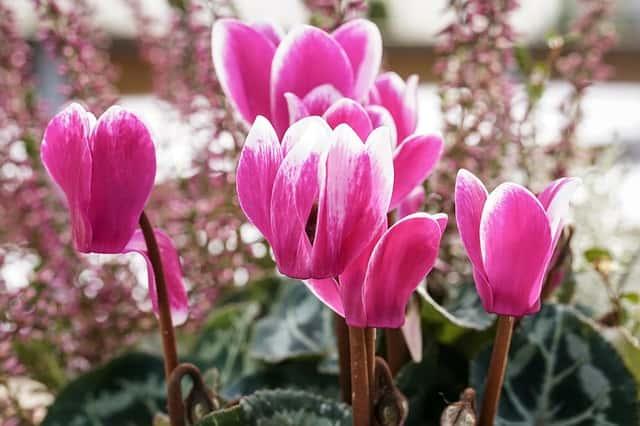 シルバーリーフの寄せ植えには、紫やピンクのシクラメンが合う