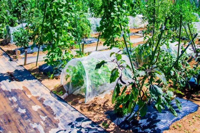 寒冷紗を施した家庭菜園