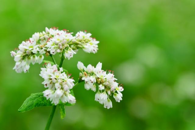 花の咲いたそば畑