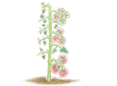 大玉トマト 摘果