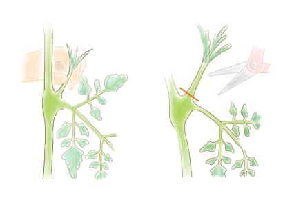 ミニトマト わき芽かき