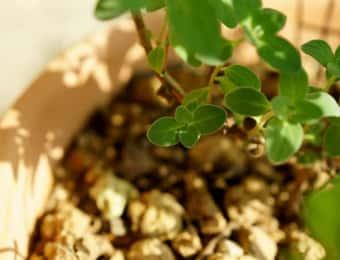赤玉土の入ったスイートマジュラムの鉢植え