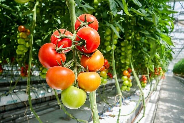 温室(施設栽培)で栽培されているミニトマト