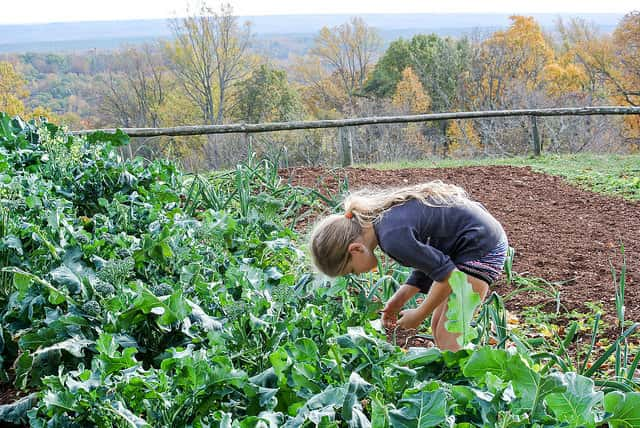 ブロッコリー栽培