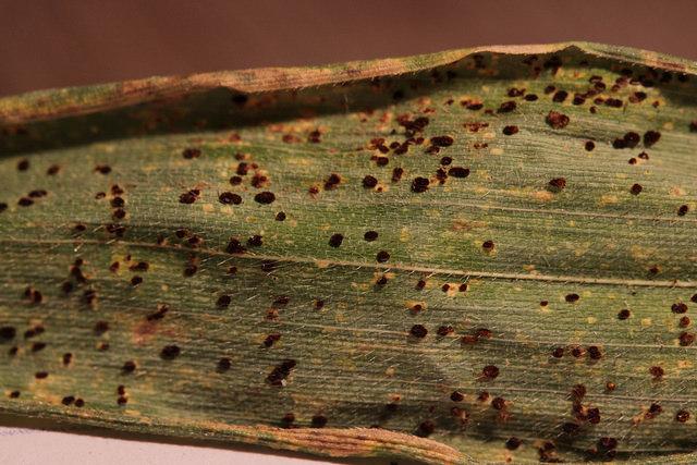 さび病に感染した植物の葉に鉄さびのような色の盛り上がった病斑部分