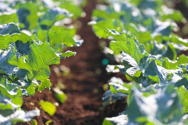 ブロッコリー、栽培