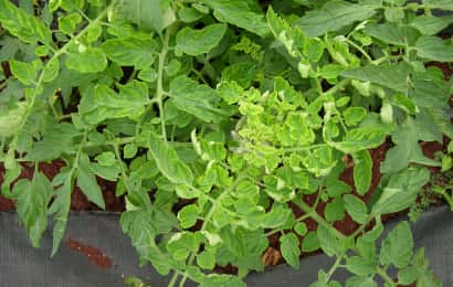 黄化葉巻病におかされたトマトの株