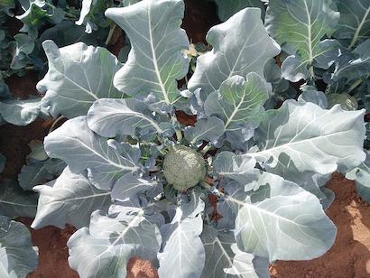 ブロッコリー、葉、螺旋状