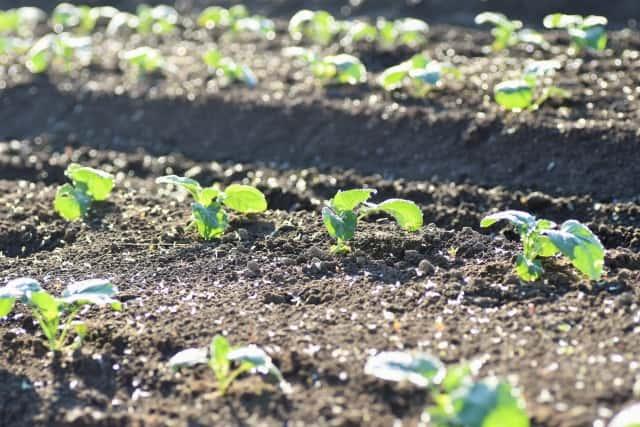 ブロッコリー、植え付け