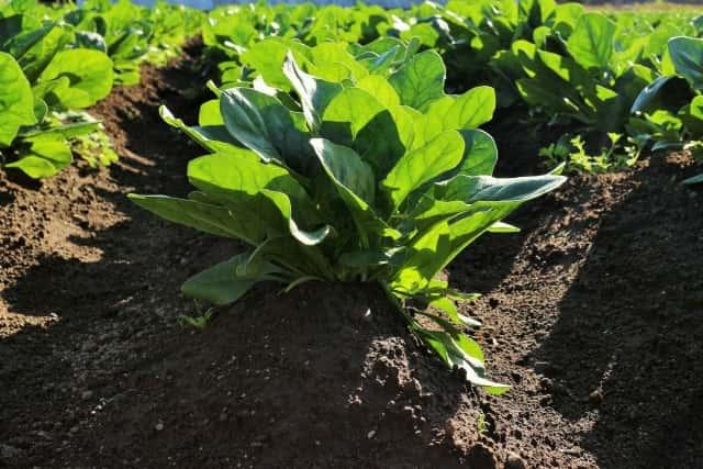 黒土と他の土を混ぜて野菜を育てる