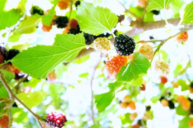 黒や白や赤の桑の実がなった桑の木