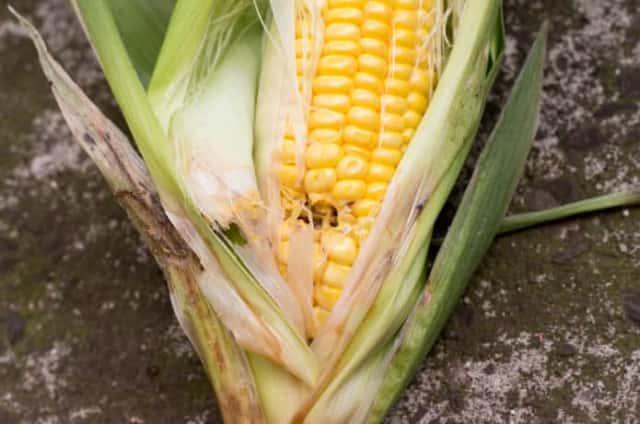 害虫被害に合ったトウモロコシの実