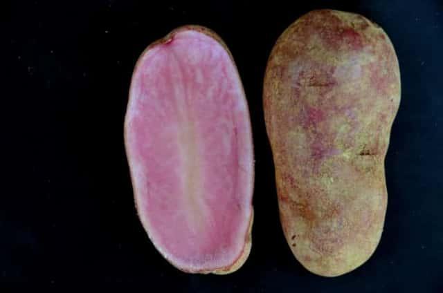 ノーザンルビーはピンクのジャガイモ