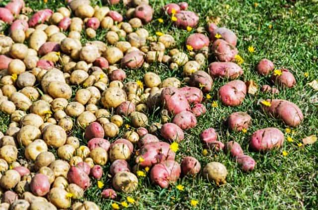 ピンク色のジャガイモ「ノーザンルビー」を栽培しよう!