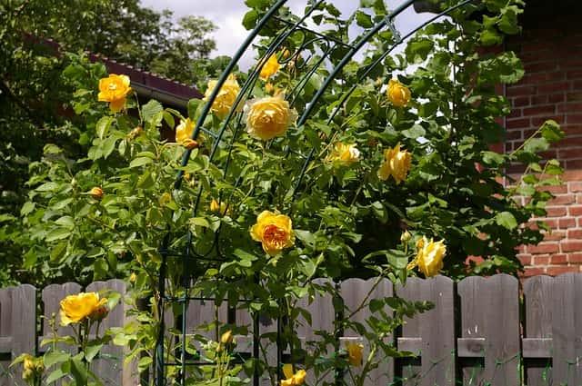 黄色いバラとトレリス