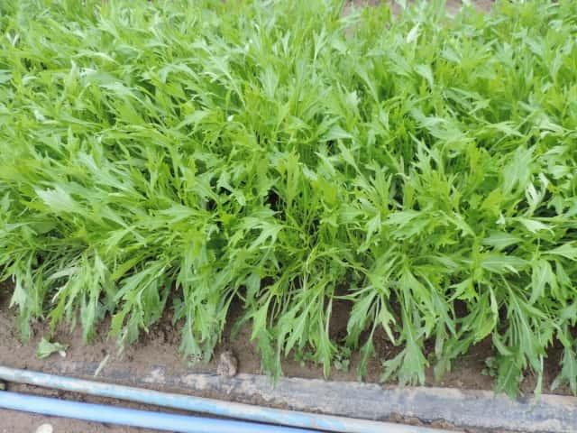 灌水設備が整った環境で栽培されているミズナ